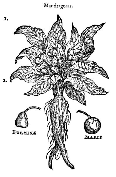 Mandrake, from Dodoens, Rembert, 1583. Stirpium historiae pemptades sex sive libri XXX. Antverpiæ, ex officina Christophori Plantini